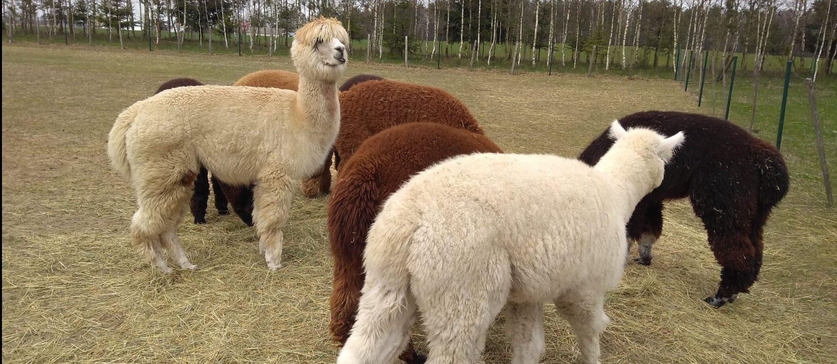 Pojechaliśmy przytulać Alpaki! – Alpakarium, Rudka 13